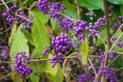 Free Purple Berries Of American Beautyberry Or Callicarpa Americana Stock Image - 162776711