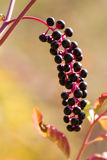 Purple berries (Phytolacca decandia) Royalty Free Stock Images