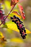 Purple berries (Phytolacca decandia) Royalty Free Stock Photo
