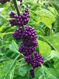 Close up of purple berries. Purple berries on a plant in a landscaped park i- McDaniel Farm in Duluth Georgia USA royalty free stock image