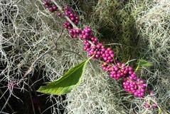 Purple Berries Royalty Free Stock Photo