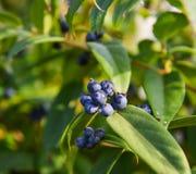 Purple berries on the tree stock image