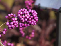 Purple berries Royalty Free Stock Images