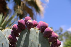 Purple Berry Cactus on Summer Day. Cactus plant with purple berries on a bright summer day with blue sky and palm tree in background Stock Photo