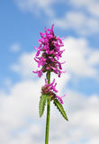 Purple betony (Betonica officinalis) Stock Images