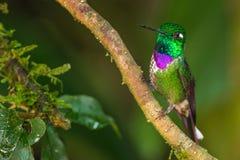 Purple Bibbed Whitetip. Adult Male Purple Bibbed Whitetip Hummingbird, Perched on Branch, Tandayapa Bird Lodge, Ecuador Stock Image