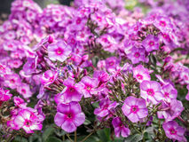 Purple bicolor in blossom Royalty Free Stock Images