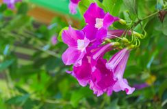 Purple Bignonia blooming on a tree. Purple Bignonia blooming on a tree in the garden on a natural background stock photos