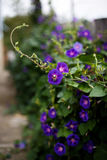 Purple bindweed. In the garden Royalty Free Stock Photos