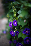 Purple bindweed. In the garden Royalty Free Stock Image