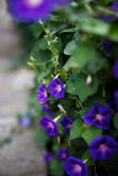 Purple bindweed. In the garden Royalty Free Stock Photography