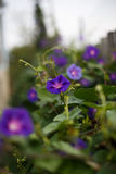 Purple bindweed. In the garden Stock Photo