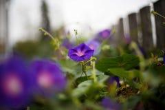 Purple bindweed. In the garden Stock Image