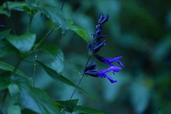 Purple Black and Blue Salvia & Green Leaves. Black and Blue Salvia flowers blooming on stems against the backdrop of green leaves royalty free stock images