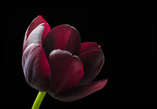 Purple black tulip. Royalty Free Stock Images