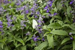 Purple bloeit met vlinders weinig eiland Stock Foto
