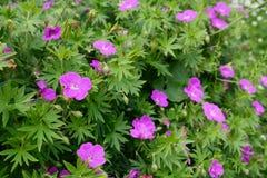 Purple Bloody Geranium Plant Stock Photos