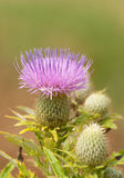 Purple bloom of a Canada thistle Stock Photos
