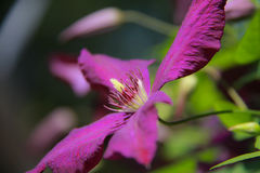 Purple bloom on clematis vine. Close up, macro Royalty Free Stock Images