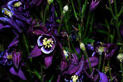 Purple bloom Royalty Free Stock Images