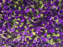 Purple blooming flowers Royalty Free Stock Photos