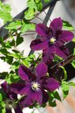 Purple blooming Clematis Royalty Free Stock Photography