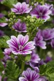 Common mallow flowers. Purple blooming Common mallow flowers Royalty Free Stock Photos