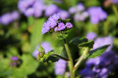 Purple blooming flower Ageratum Royalty Free Stock Photos