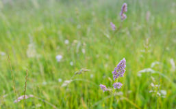Purple blooming grass in the wild nature Stock Image