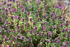 Purple blooming groundcover thyme. Flowering groundcover plants Stock Photography