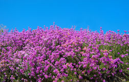 Purple blooming heath field Royalty Free Stock Photography