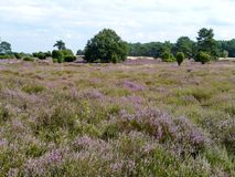 The purple blooming heather plants in Drenthe Royalty Free Stock Photo