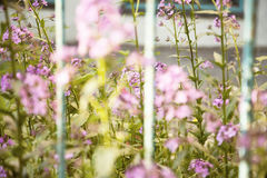 Purple blooming Hesperis grass behind blue fence close-up Royalty Free Stock Photos