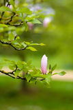 Purple Blooming Magnolia Flower Buds on the Branch Royalty Free Stock Photo