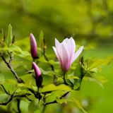 Purple Blooming Magnolia Flower Buds on the Branch Royalty Free Stock Images