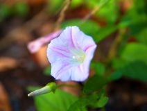 Purple blooming morning glory flower Royalty Free Stock Images