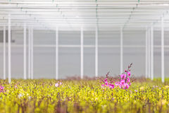 Purple blooming orchids in greenhouse Royalty Free Stock Photos