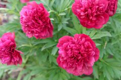 Purple blooming peonies in the garden stock photography