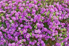 Purple blossom background Stock Photo