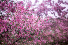 Purple blossom crabapple. Purple blossom Hall crabapple Malus halliana background Stock Photos