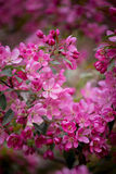 Purple blossom crabapple. Purple blossom Hall crabapple Malus halliana background Royalty Free Stock Images