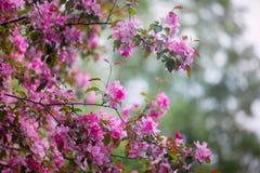 Purple blossom crabapple. Purple blossom Hall crabapple Malus halliana background Stock Photo