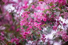 Purple blossom crabapple Royalty Free Stock Image