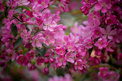 Purple blossom crabapple Stock Image