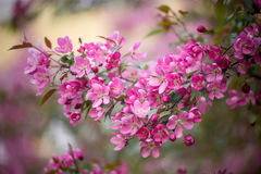 Purple blossom crabapple Royalty Free Stock Photo
