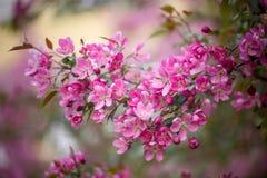 Purple blossom crabapple. Purple blossom Hall crabapple Malus halliana background Royalty Free Stock Photo