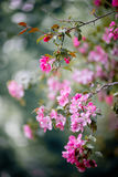 Purple blossom crabapple. Purple blossom Hall crabapple Malus halliana background Stock Photo