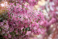 Purple blossom crabapple Stock Photo