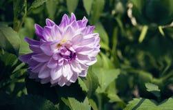 Purple blossom of dahlia Stock Photos