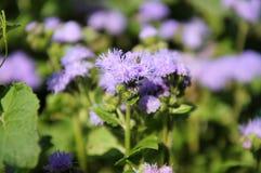 Purple blossom flower Ageratum Stock Photo